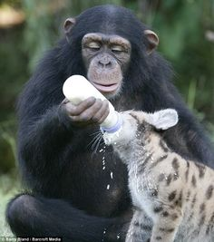 Anjana the chimp feeding Sierra the puma cub. So cute!! Aww!