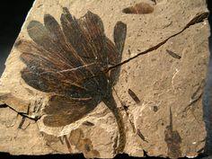 Ginko digitata, 5,5x4cm, fossil, Tranquille Shale, Cache Creek, Canada, éocène (56 to 33.9 million years ago)