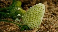 Morangos Moranguinhos Moranguitos Fruta doce e tão gostosa Nascem em flor Passam a verdes Se tornam amarelos Ficam vermelhos Tal como o amor  ―  J. Brito