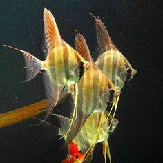 No photo description available. Tropical Fish Aquarium, Planted Aquarium, Angel Fish Tank, Oscar Fish, Fish Gallery, Cool Fish, Aquarium Ideas, Angelfish, Axolotl