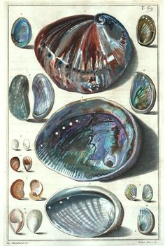 Niccolò Gualtieri, abalone seashells, 1742.