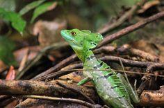 tortuguero national park attraction emerald basilisk    - Costa Rica