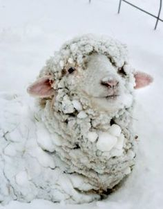 sheep smiling in snow (35 pieces)