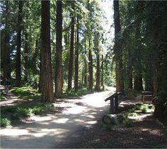Redwood grove at the UC Davis Arboretum.