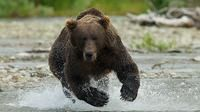 Visit a wilderness of volcanoes, vast tundra and the greatest concentration of brown bears