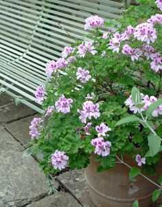 Belcombe Court, Wilts Pelargoniums have one thing in common with succulents in that they don't need much watering. I'm spending an inordinate amount of time watering at the moment, with a hose that behaves like a demented serpent, so anything that isn't needy on the watering front is very welcome.