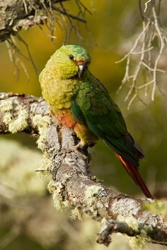 Austral Parakeet (Enicognathus ferrugineus ferrugineus), adult, @ sohnjoo's photography