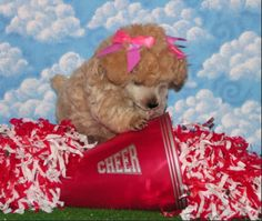 I want a toy poodle so baaaaaaaaad! Puppies And Kitties, Toy Puppies, Cute Puppies, Cute Dogs, Teacup Poodles For Sale, Toy Poodles For Sale, Teacup Dogs, Tiny Toy Poodle, Pink Poodle