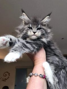 39 Maine Coon Kittens To Help Get You Through The Day In the cat world category, who wouldn't be captured by looking at the beauty of Maine coon kitten pictures? After you've finished looking at Maine Coon kittens for sale and… Cute Kittens, Cats And Kittens, Cats Meowing, Ragdoll Kittens, Tabby Cats, Bengal Cats, Pretty Cats, Beautiful Cats, Beautiful Pictures