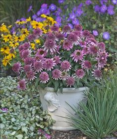 Cone-fections 'Butterfly Kisses' Coneflower - 18 inches. Its first set of bright pink, fragrant flowers appear in midsummer followed by wave after wave of additional blooms until frost.