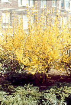 Forsythia, a sign of spring..I love this plant. Makes winter vanish with such style.