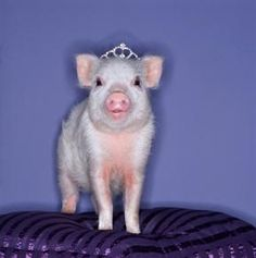 I almost have Steven talked into getting Lizzie aTeacup Pig for her 4th b-day!! DREAM COME TRUE! HAHAHA