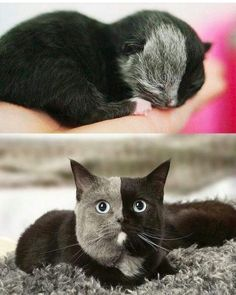 No es bonito, es perfecto - Katzen - Gatos Cute Cats And Kittens, I Love Cats, Crazy Cats, Cool Cats, Kittens Cutest, Kittens Meowing, Cute Funny Animals, Cute Baby Animals, Animals And Pets