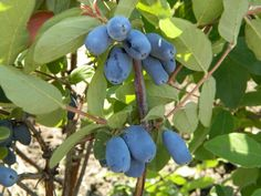 Honeyberry Bush -- grow 3'-8' tall depending on type, zone 2-8, grows in sunny or shady. Bears best in sun in the north-needs protection from sun in the south. May need two in order to get fruit...