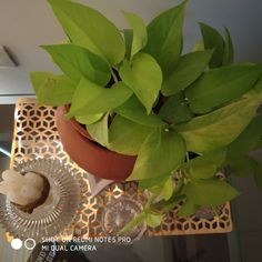 Golden pothos on the
