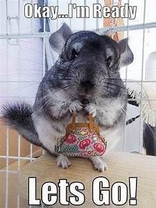 Attack Of The Funny Animals - 30 Pics This chinchilla holding a purse is just too cute. Cute Little Animals, Cute Funny Animals, Funny Animal Pictures, Funny Cute, Funny Pics, Chinchilla Baby, Hamster, Little Critter, Cool Pets