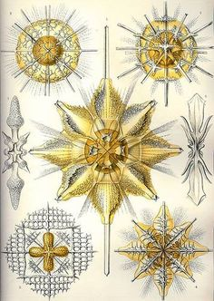 Illustration by Ernst Haeckel