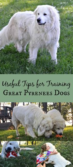 Need tips on how to train Great Pyrenees? Pyrs are smart and stubborn and need mental stimulation and enrichment toys like the ones from @Petmate & @JWPetCo. Find more useful training tips here! #ad #jwpet #holeegourmet_