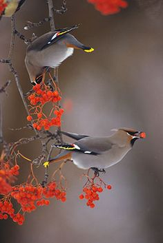 Bohemian Waxwing Pair- was priveleged to have a pair feasting on berries in my garden yesterday !