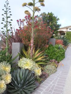 An Agave 'Blue Glow' in the foreground and a colorful Agave 'Joe Hoak' behind.