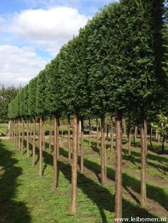 Evergreen Pleached trees.  Spalierbaume.