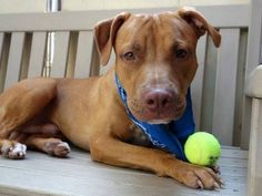 TO BE DESTROYED FRI 09/26/14- Manhattan Center   ANGEL - A1014453  MALE, BROWN / WHITE, PIT BULL MIX, 2 yrs STRAY - STRAY WAIT, NO HOLD Reason STRAY  Intake condition UNSPECIFIE Intake Date 09/18/2014, From NY 11215, DueOut Date 09/21/2014,