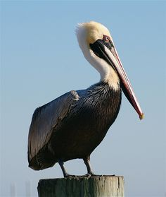 Pelican - Down by the pier. Panama City, Florida.  by marylea    ..z