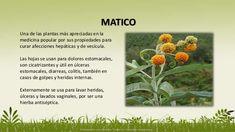 hierbas que curan - Buscar con Google Plants, Google, Herbalism, Paper, Drinks To Lose Weight, Medicinal Plants, Herbs, Salud, Flora