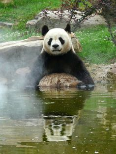 See more Giant Panda: Yuan Zi in the bath! by Alex