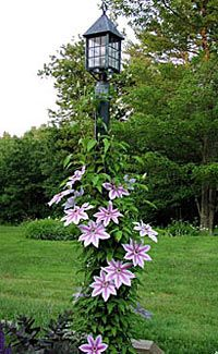 I have this clematis growing already. Just need the lamp post!