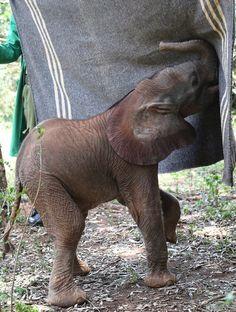 Tiny elephant calf Shujaa, at The David Sheldrick Wildlife Trust, Nairobi, Kenya. She loves her blanket! <3