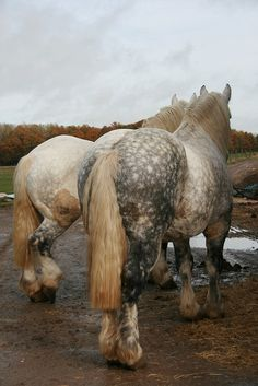 Percheron bums - Wow, look at how the color around the dapples on the nearest one is darker on one side of his haunches than the other!