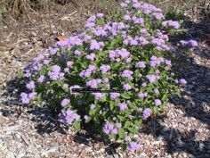 Hardy ageratum, Mist flower (Eupatorium coelestinum)  Shade tolerance  Light to medium  Size  1 to 2 feet tall  Powder puff blue flowers in late summer to fall. Prefers at least partial sun. Spreads readily.