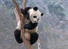 Panda acrobats by Sabry Mason on 500px
