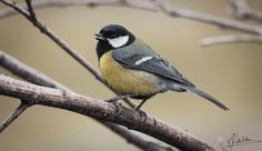 Chatter - Chatter (great tit bird)