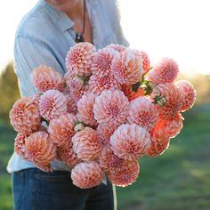 Dahlia Peaches N' Cream - Floret Flowers