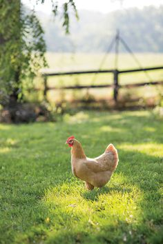Prized hen, Shenandoah, Virginia, United States, 2012, photograph by Patricia Lyons.