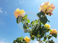 yellow roses blue sky beautiful bloom blossom decoration fliral floral flower garden green foliage leaves petal nature plant bush summer