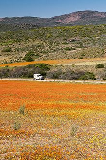 The daisies in Namaqualand are spectacular in spring.