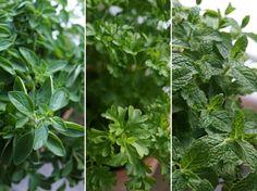 Így szaporítsunk bolti fűszernövényt tőosztással!