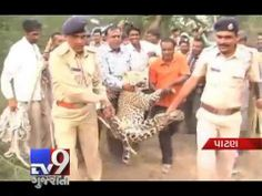 A leopard has strayed into the city and creating panic. Finally,  Teams of forest department and police have finally caught leopard .  For more videos go to  http://www.youtube.com/gujarattv9  Like us on Facebook at https://www.facebook.com/gujarattv9 Follow us on Twitter at https://twitter.com/Tv9Gujarat