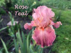 Rose Teall