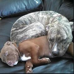Do you love Pitbull? If yes read the types of Pitbull Breeds that are really popular right now. This list of Pitbull breed is very famous because of their extra ordinary characteristics Pitbull Terrier, Amstaff Terrier, Bull Terriers, Grey Pitbull, Terrier Mix, Cute Puppies, Cute Dogs, Dogs And Puppies, Doggies