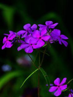 outdoormagic: rose Phlox par Dan Ploscaru