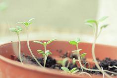 satureja seeds