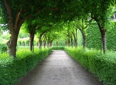 Wouldn't this be beautiful for a home driveway?    Leucadia Blog: Tree Tunnels