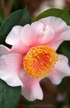 **Higo Camellia 'Azuma Nishiki'