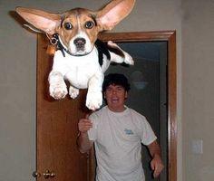 "The face says Beagle, but those ears scream ""Basset Hound! Funny Animal Photos, Dog Pictures, Funny Photos, Funny Animals, Cute Animals, Animal Pics, Funny Images, Amor Animal, Mundo Animal"