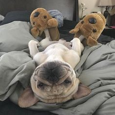 French Bulldog in their natural habitat Cute French Bulldog, French Bulldog Puppies, Dogs And Puppies, French Bulldogs, Doggies, American Bulldogs, Animals And Pets, Baby Animals, Funny Animals