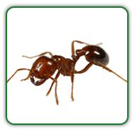 how to get rid of earwigs in the garden uk
